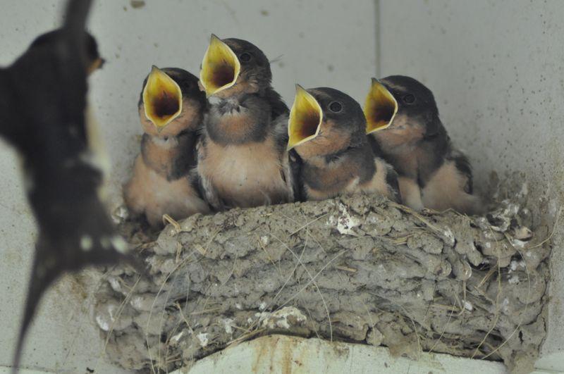 Swallows singing
